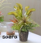 GR0002 食虫植物